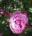 Rosa la reine.jpg