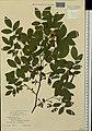 Rosa majalis herbarium (08).jpeg