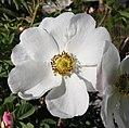 Rosa majalis inflorescence (09).jpg