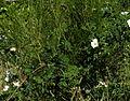 Rosa mandonii 1 web.jpg
