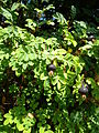 Rosa pimpinellifolia 2 BOGA.jpg