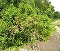 Rosa villosa plant (01).jpg