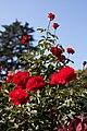 Rose, Trumpeter - Flickr - nekonomania (6).jpg