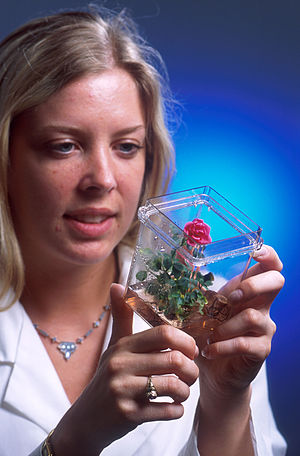 Micropropagation - A rose plant that began as cells grown in a tissue culture