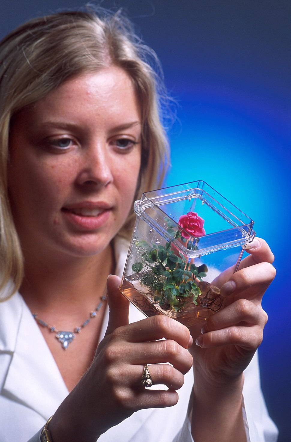 Rose grown from tissue culture