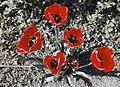 RoteBlüten.jpg