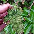 Rubus reflexus 133978147.jpg