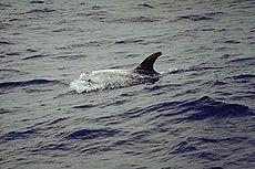 .::Calderón Gris o Delfín Gris 230px-Rundkopfdelfin