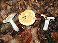Russula ochroleuca 08-10-2005.jpg