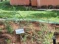 Ruta graveolens - Jardim Botânico de Brasília - DSC09654.JPG