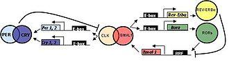 Suprachiasmatic nucleus - The oscillator genes and proteins involved in the mammalian circadian oscillator