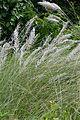 Saccharum spontaneum - Indian Botanic Garden - Howrah 2012-09-20 0164.JPG