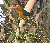 Saffron toucanet cropped