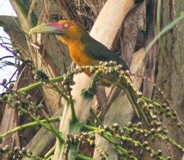 Saffron toucanet cropped