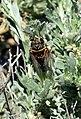Sagebrush Cicada (Okanagana luteobasalis) on Seedskadee NWR 01 (14161105430).jpg