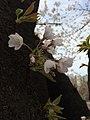 Sakura in Yeouido.jpg