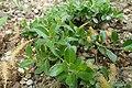 Salix cashmiriana kz02.jpg