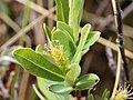 Salix pedicellaris 5472378.jpg