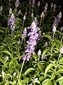 Salvia farinacea (2).jpg