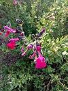 Salvia greggii 'Savannah Purple' - Σάλβια 01.jpg