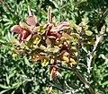 Salvia lanceolata 3.jpg