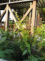 Salvia madrensis 'Yellow Majesty'3.jpg