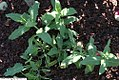 Salvia nemorosa Rosenwein 1zz.jpg