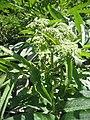 Sambucus ebulus 20080607 160522 Bizkaia 43p3460N 2p9968W.jpg