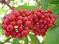 Sambucus racemosa fruits 1.jpg