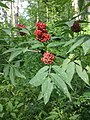 Sambucus racemosa sl3.jpg