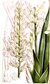 Sansevieria cylindrica pm.jpg