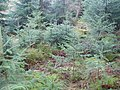 Saplings in the forest - geograph.org.uk - 322202.jpg