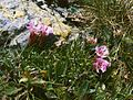 Saponaria pumila1.jpg