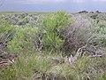 Sarcobatus vermiculatus (4049571571).jpg