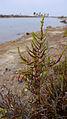 Sarcocornia fruticosa781.jpg