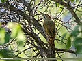 Scaly-bellied Woodpecker (Picus squamatus) (42276466125).jpg