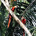 Scarlet Macaw (6900650766).jpg