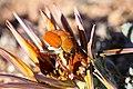 Scelophysa militaris (Scarabaeidae- Melolonthinae-Rutelinae- Hopliini) mating on Gazania leiopoda (Asteraceae) (37387397516).jpg
