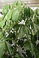 Schefflera actinophylla Renegade 1zz.jpg