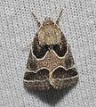 Schinia rivulosa – Ragweed Flower Moth (14759566212).jpg