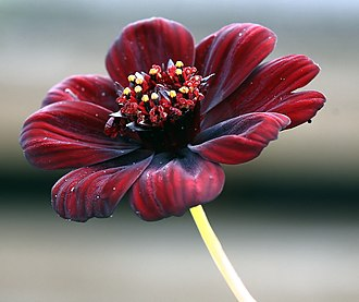 Shades of red - Chocolate flower