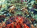 Scorpion Fish, Bunaken Island.jpg
