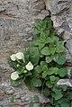 Scutellaria immaculata (Lamiaceae) (33022131520).jpg