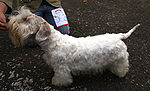 Sealyham terrier y7.jpg