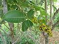 Searsia magalismontana subsp coddii, loof en vrugte, b, Walter Sisulu NBT.jpg