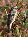 Sedge warbler, Acrocephalus schoenobaenus at Marakele National Park, Limpopo, South Africa (25278764924).jpg