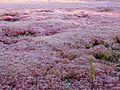 Sedum caeruleum 2 (Corse).JPG