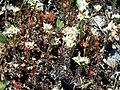 Sedum caespitosum and others Plants SierraMadrona.jpg