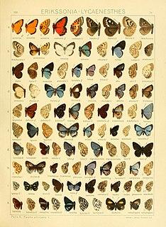 <i>Anthene</i> genus of insects