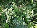 Selinum carvifolia sl15.jpg
